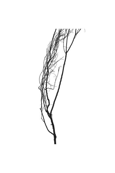 Doğal Siyah Boyalı Kuru Tanzim Dalı 190CM 1 Adet